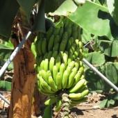 plantaza-banan