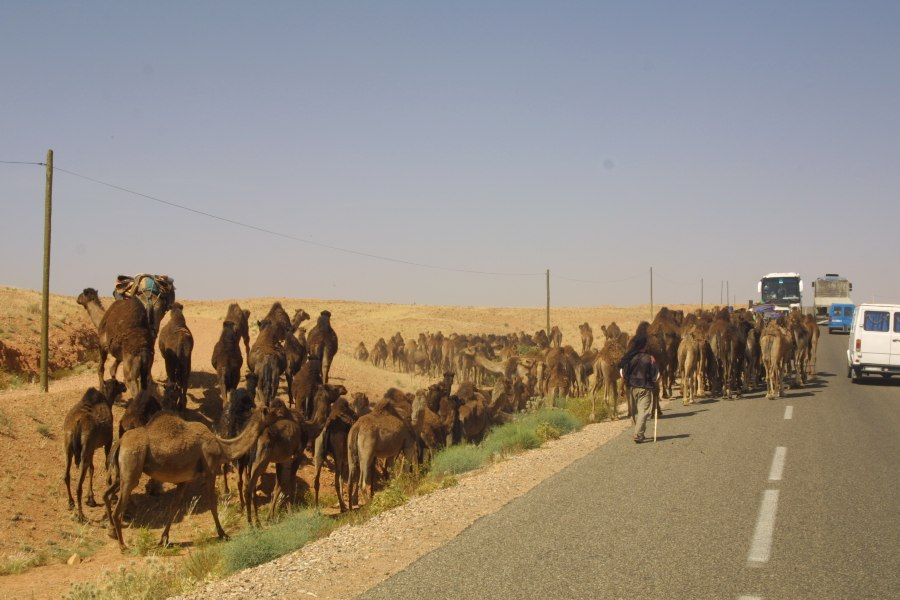 maroko kamele