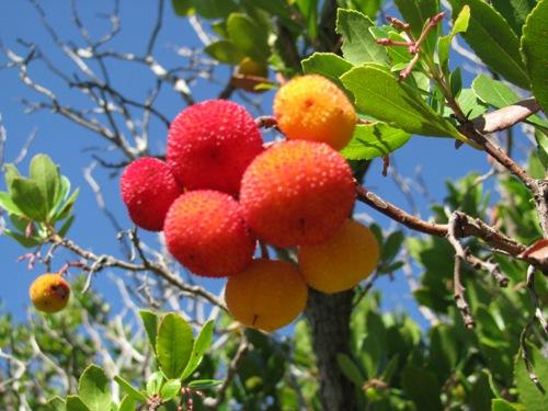 Okusen sadež